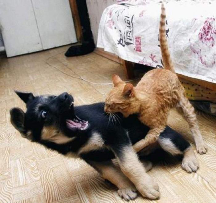 Вицове: Котка бие куче